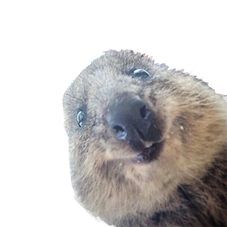 Let's Make Quokka Selfies-quokka1.png