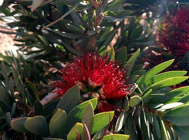 Share your Nexus 5 camera photos, videos, and thoughts!-bottlebrush-flower-bee-back-yard-clean-1730x1280-.jpg