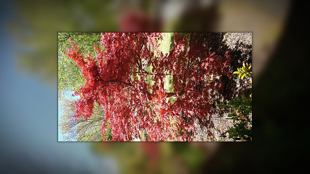 Show off your pictures from the LG G5 here!-japanesemaple.jpg