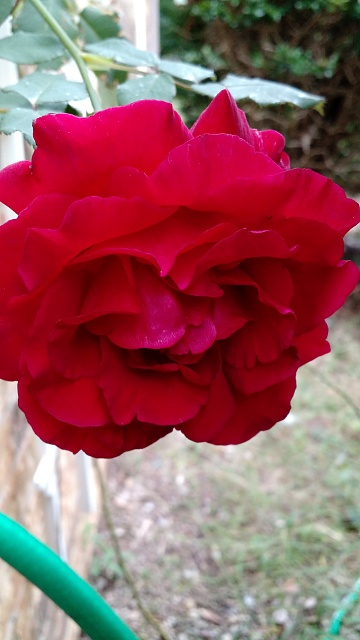 Post pictures taken with your second generation Moto X here-img_2014-rose.jpg