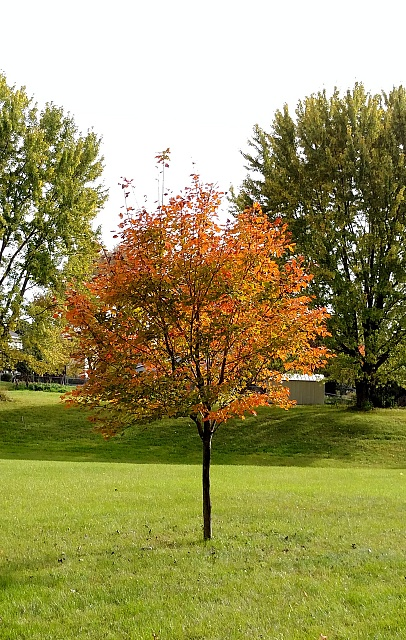 Post Pictures Taken with your DROID TURBO here-maple-tree1.jpg