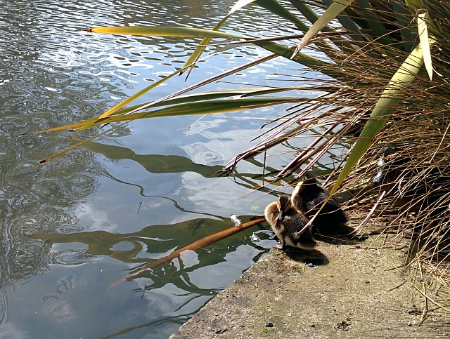 Weekly Photo Contest: Parks-ducklings-ranelagh.jpg