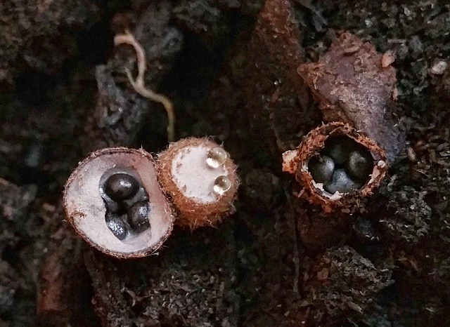Note 4 Camera Pictures!  Got one? We would love to see it.-birds-nest-fungus-macro.jpg