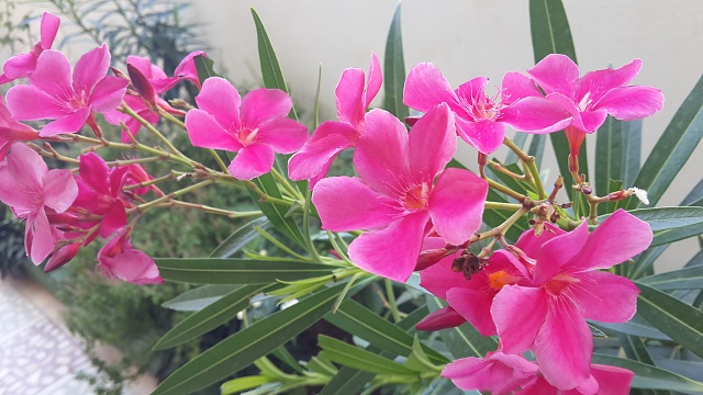 [Galaxy S4] Camera Pictures: Let's see what you got!-pink-flowers.jpg