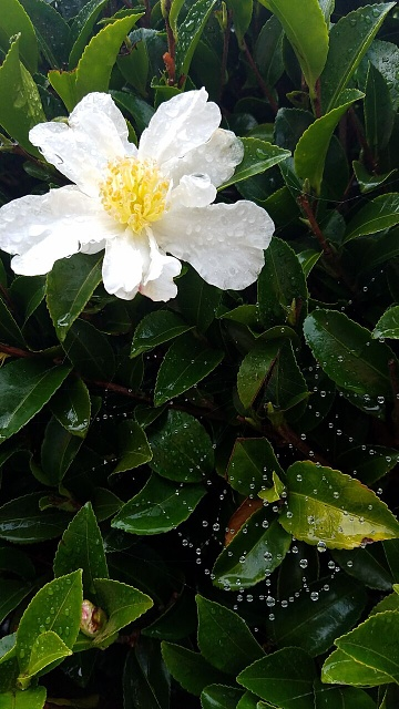 Not thrilled with camera, What am I missing????-rainy-day-camellia.jpg