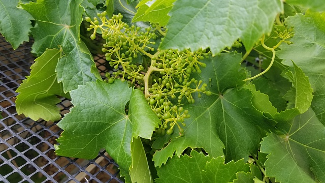 Photos taken with the S8 / S8 +-grapes-1-.jpg